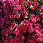 Фото 21: Садовая кустовая хризантема