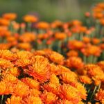 Фото 27: Садовые хризантемы
