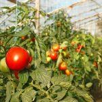 Фото 62: Теплица с помидорами