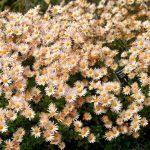 Фото 39: Хризантема садовая