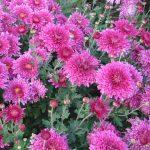 Фото 46: Хризантемы кустовые