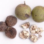 Фото 18: Чёрный орех плоды