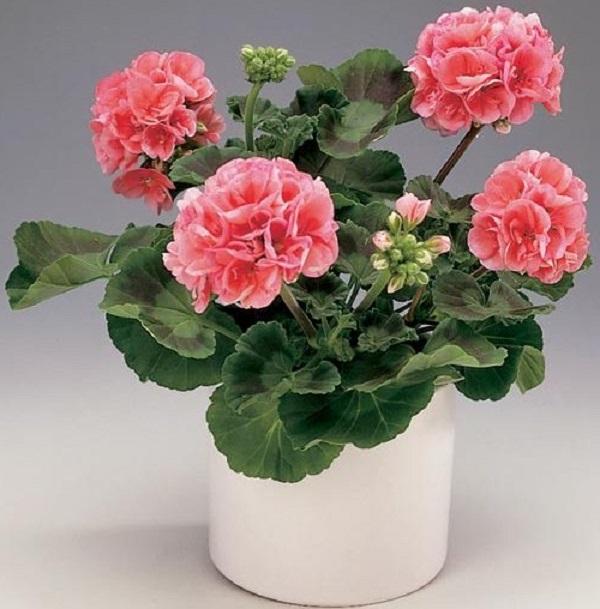 Розовая герань