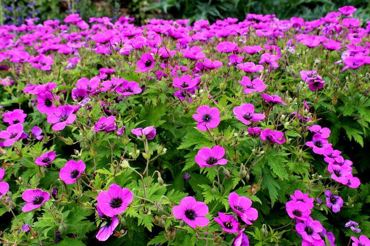 Герань фиолетовая