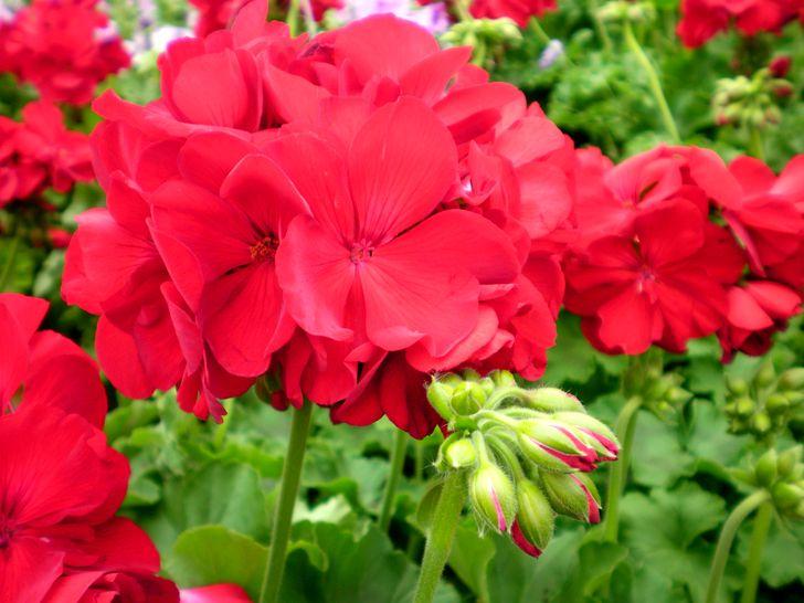 Темно-красные цветы герани