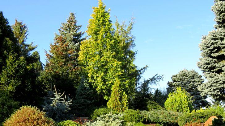 Высокие хвойные деревья