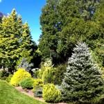 Фото 9: Высокие хвойные деревья