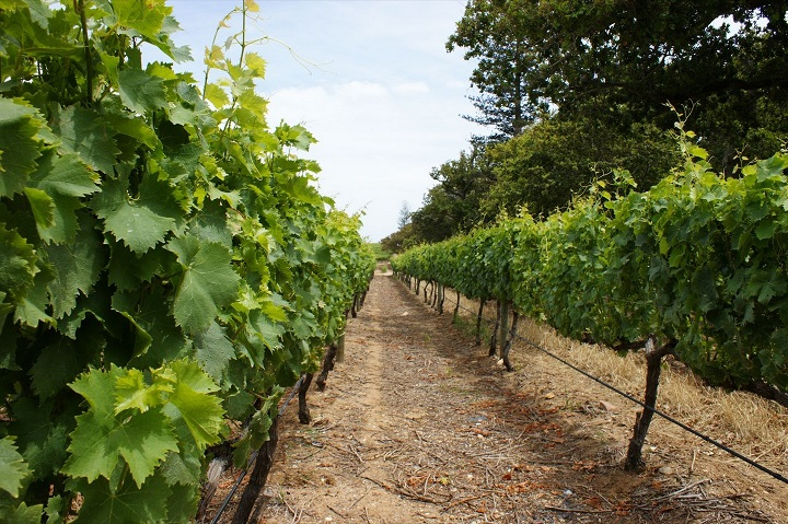 Большой виноградник