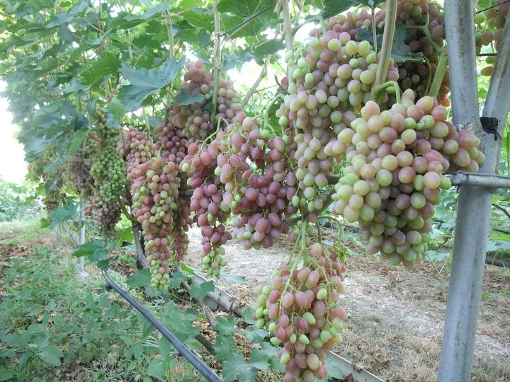 Обрізка винограду осінню