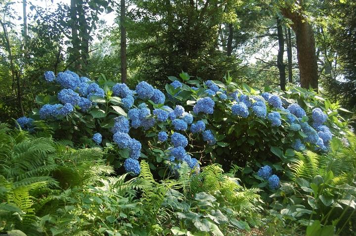 Цветение гортензии в саду