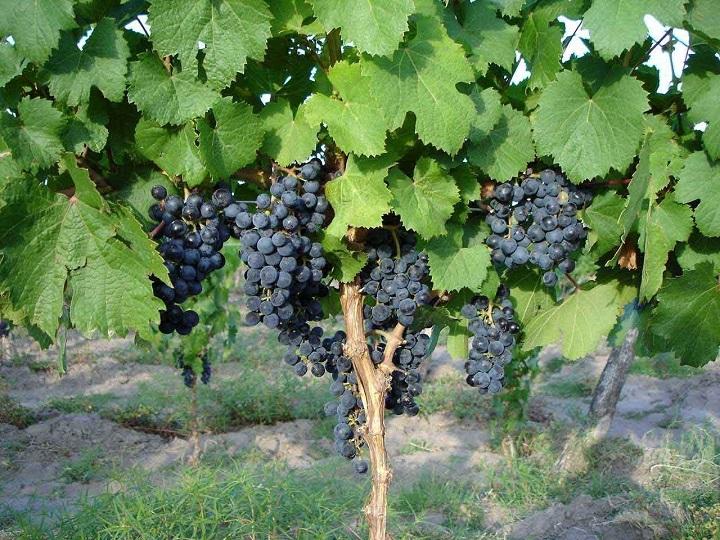 Грозди винограда в саду