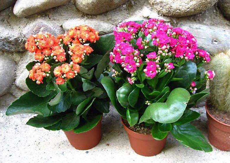комнатные цветы названия и фото светолюбивые