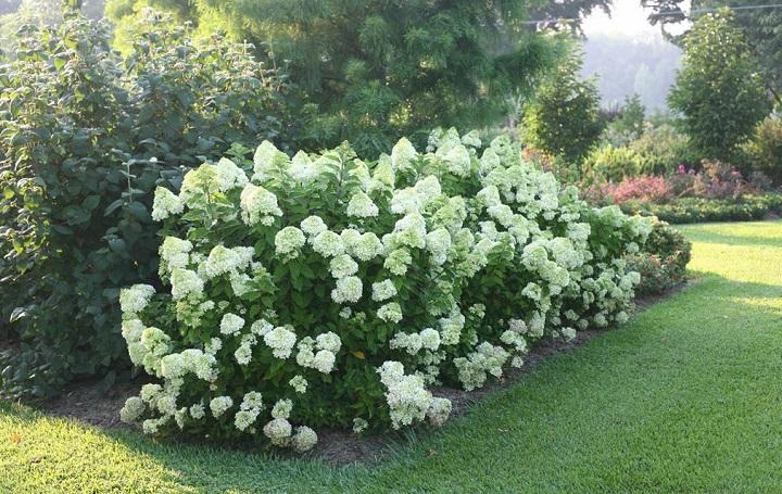 Кустарник гортензии в саду