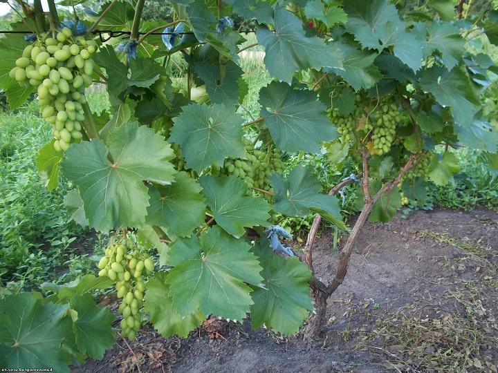 Куст винограда в саду