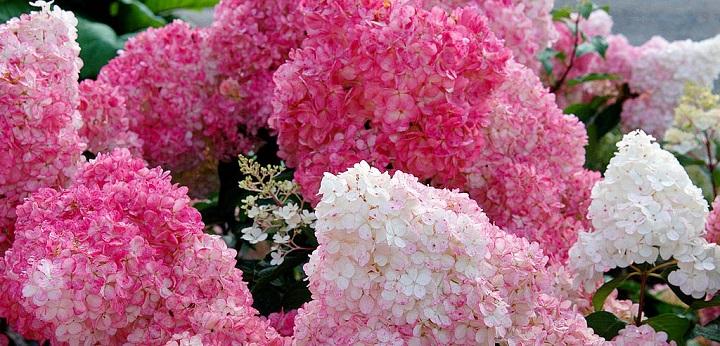 Пышное цветение куста