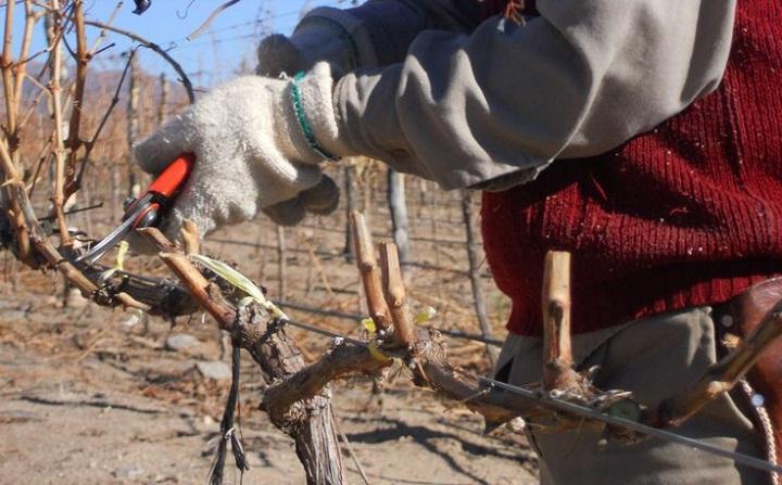 Обрезка винограда в саду