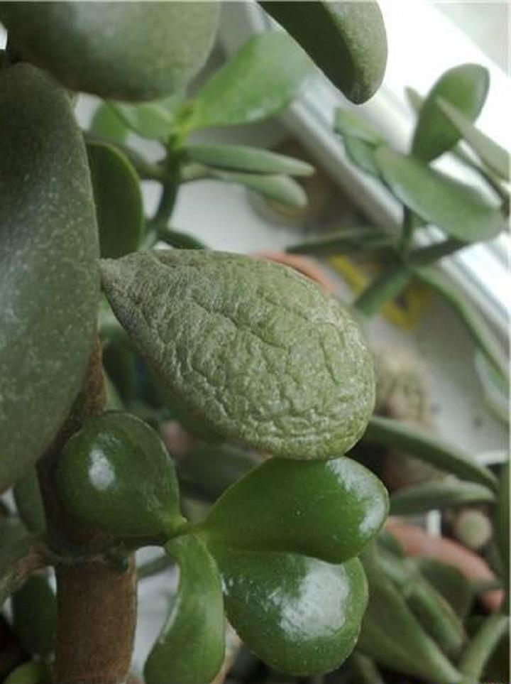 Признак неправильного увлажнения растения