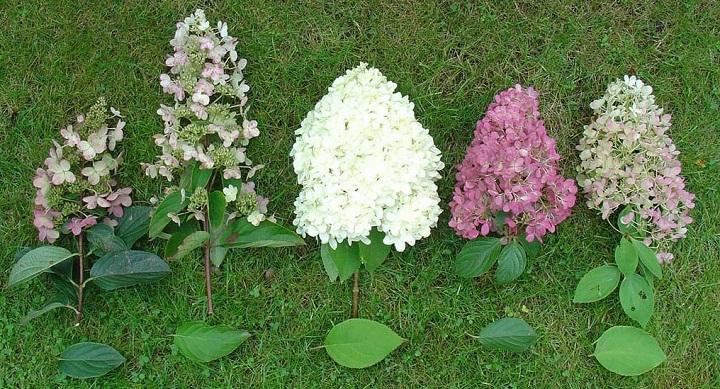 Разные соцветия гортензии