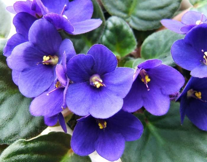 оттенки цветков фиалки варьируются от синих до фиолетовых