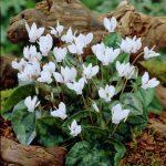 Фото 76: Cyclamen hederifolium Album