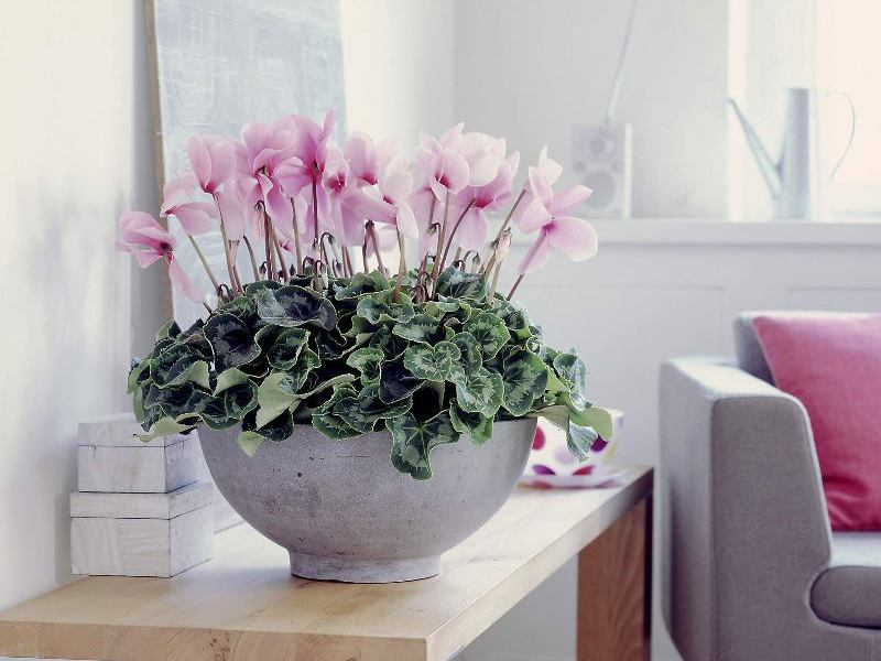 Цветок цикламен уход в домашних условиях фото