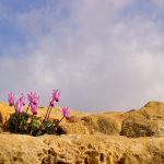 Фото 28: Цикламен Кипрский