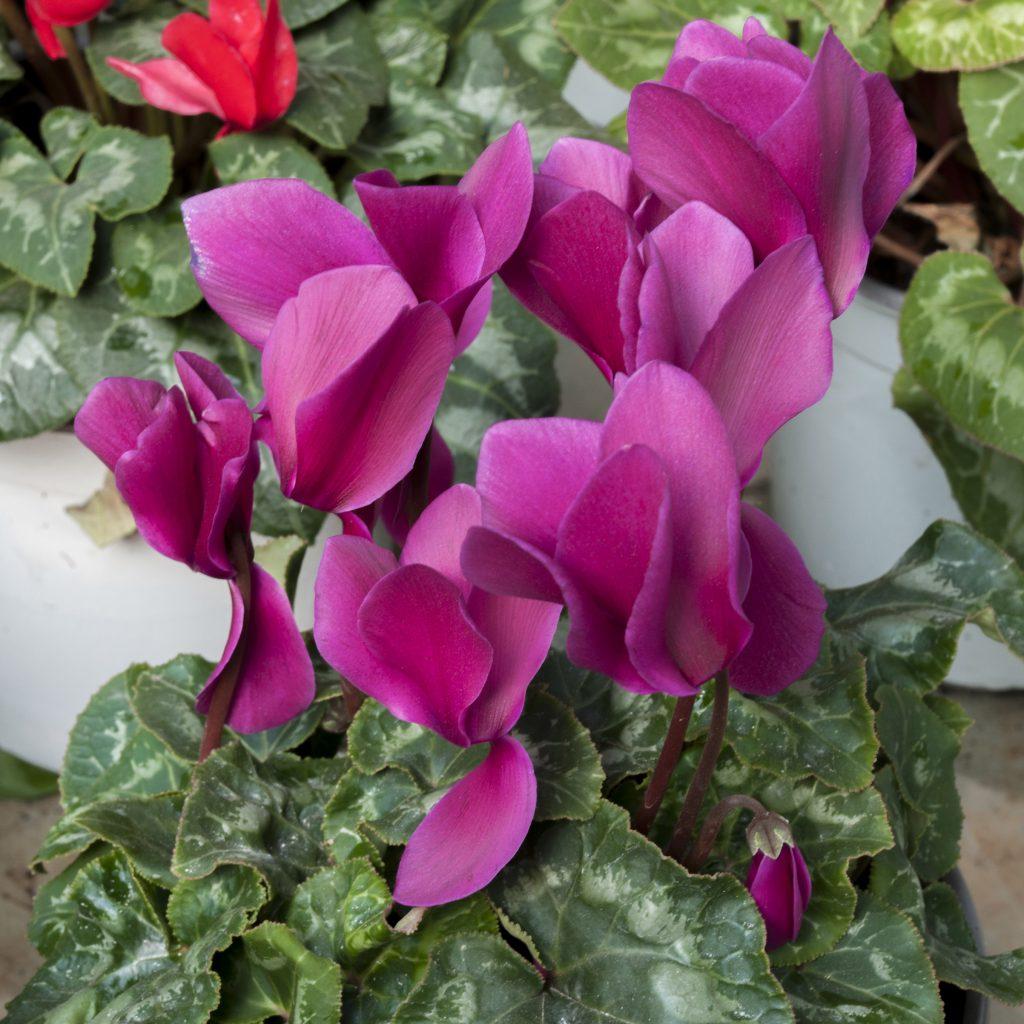 Комнатный цветок цикламен уход фото