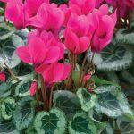 Фото 102: Цикламен Silverado Rose