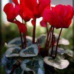 Фото 103: Цикламен Silverado Scarlet