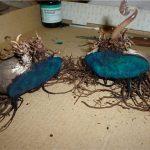 Фото 53: Деление клубня цикламена и обработка срезов зеленкой