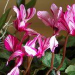 Фото 18: Форма цветов цикламена