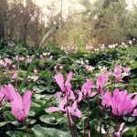 Фото 88: Рост цикламена в лесу