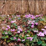 Фото 107: Цикламен в есественной среде обитания