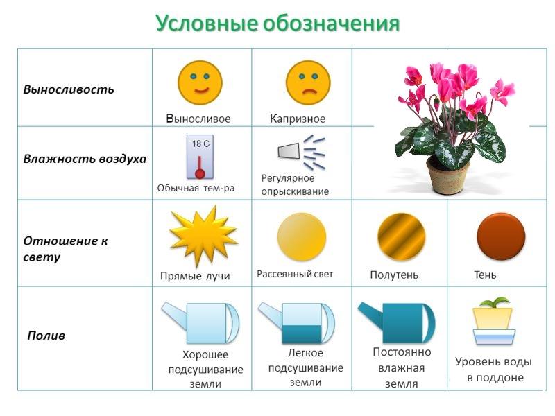 Условия для выращивания цикламена