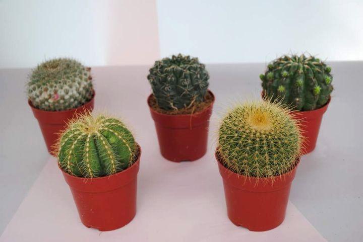 История кактуса