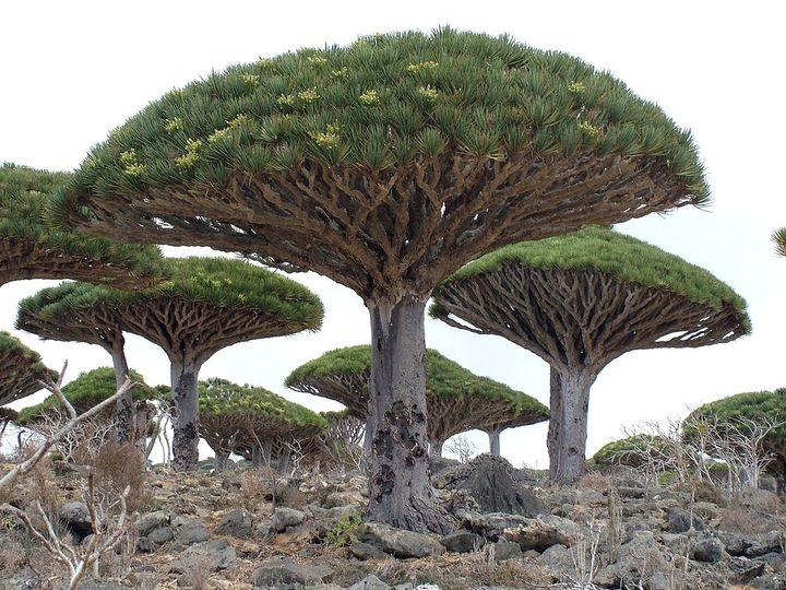 Драцена родина растения википедия
