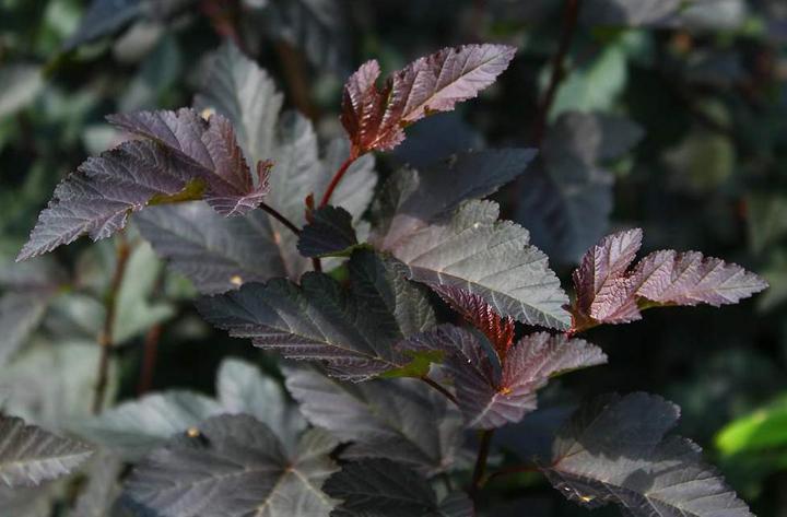 Красивые листья Диабло