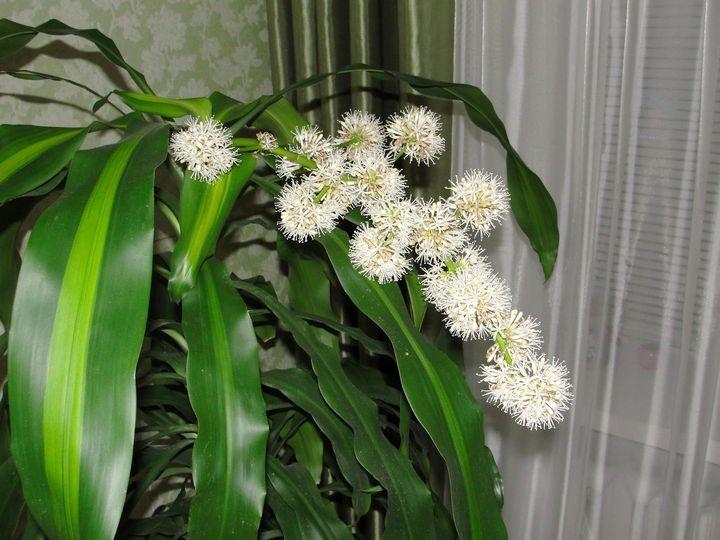 Цветки драцены