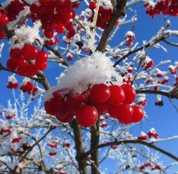 Ягоды калины под снегом