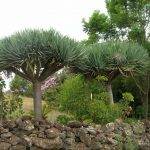Фото 99: Dracaena Dragon Tree