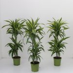 Фото 96: Dracaena Lemon Lime