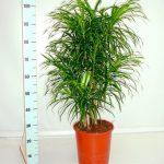 Фото 113: Высота Драцены Рефлексы