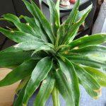Фото 108: Выращивание драцены Румфы в домашних условиях