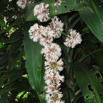 Фото 130: Цветение Dracaena deremensis