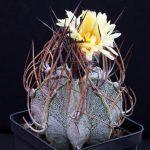 Фото 26: astrophytum capricorne