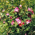 Фото 50: Цветение шиповника