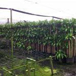 Фото 79: Промышленное выращивание драцены массанжеаны