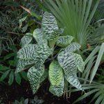 Фото 125: Выращивание Драцены Голденианы