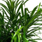 Фото 115: Листья Драцены Рефлексы