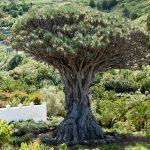 Фото 16: Драконье дерево (Драцена)